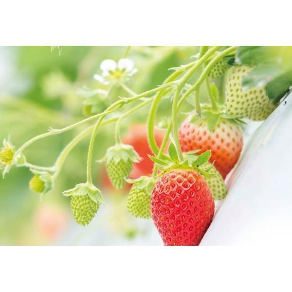【糖度13度!!】幻のイチゴ